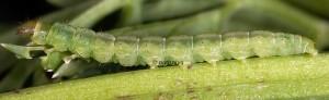 Agonopterix alstromeriana
