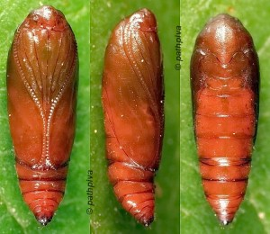 Agonopterix alstromeriana chrysalide 06 1