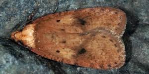 Agonopterix angelicella