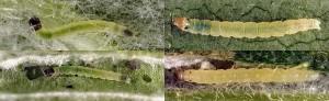 Agonopterix arenella chenille L2-3 06 1