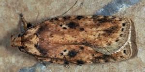 Agonopterix arenella