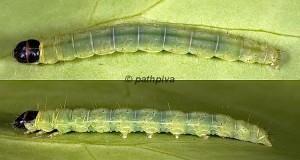 Agonopterix aspersella chenille L4 83 1