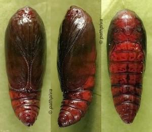 Agonopterix aspersella chrysalide 83 1