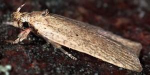 Agonopterix aspersella (Constant, 1888)