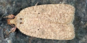 Agonopterix aspersella