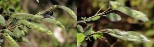 Agonopterix aspersella nid_83 1