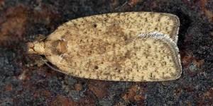 Agonopterix assimilella (Treitschke, 1832)
