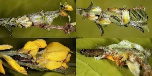 Agonopterix assimilella nid_L4 L5 83 1