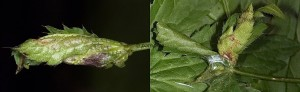 Agonopterix astrantiae nid 06 1