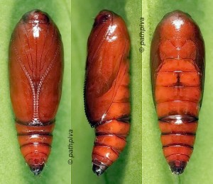 Agonopterix atomella chrysalide 66 1