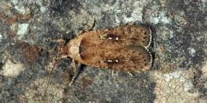 Agonopterix capreolella (Zeller, 1839)