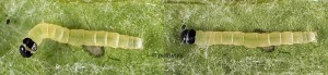 Agonopterix carduella chenille L3 06-66 1