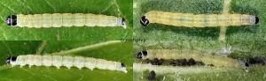 Agonopterix carduella chenille L4 06-66 1