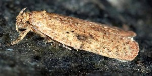 Agonopterix carduella