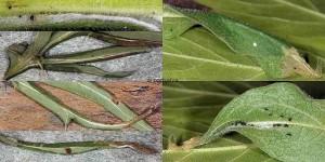 Agonopterix carduella nid_06-66 1