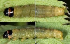 Agonopterix cervariella chenille L5 83 3