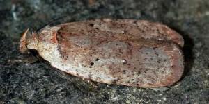 Agonopterix cervariella