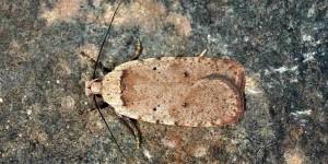 Agonopterix cervariella (Constant, 1884)