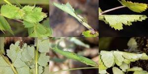 Agonopterix cervariella nid 06 1