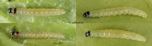 Agonopterix chironiella chenille L1-2 83-06 1