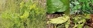 Agonopterix chironiella chenille nid 06 1