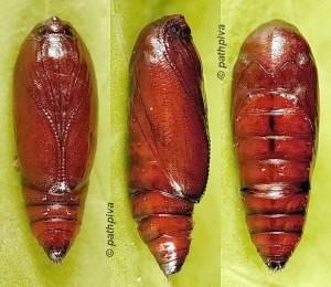 Agonopterix chironiella chrysalide 06 1