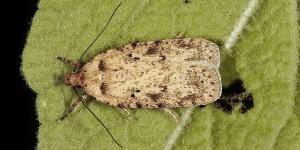 Agonopterix chironiella