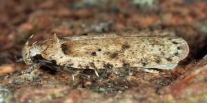 Agonopterix chironiella (Constant, 1893)