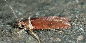 Agonopterix cnicella (Treitschke, 1832)
