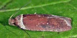Agonopterix cnicella