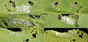 Agonopterix curvipunctosa L2-L3 06 1