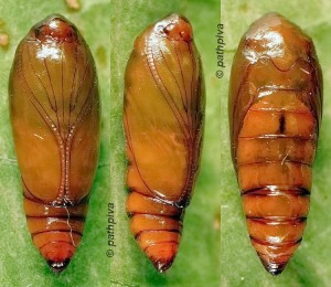 Agonopterix curvipunctosa chrysalide 06 1