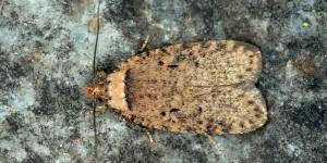Agonopterix curvipunctosa (Haworth, 1811)