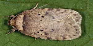 Agonopterix curvipunctosa