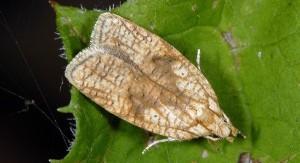 Agonopterix doronicella 06 1