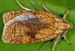 Agonopterix doronicella 48 1