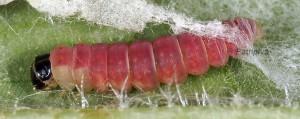 Agonopterix ferocella