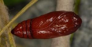 Agonopterix ferulae c