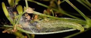 Agonopterix heracliana