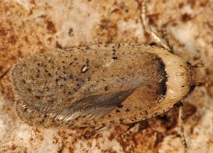 Agonopterix hippomarathri 83 1