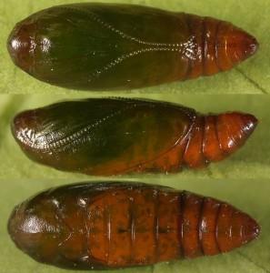 Agonopterix hippomarathri pupa