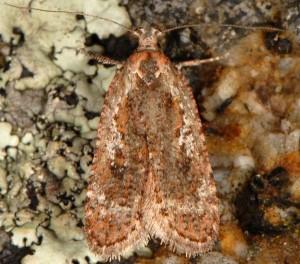 Agonopterix hypericella 38 1