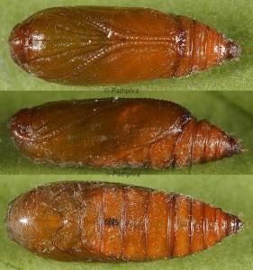 Agonopterix hypericella