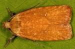 Agonopterix irrorata