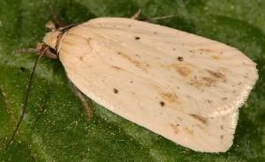 Agonopterix kaekeritziana 06 3