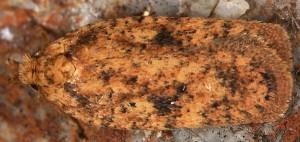 Agonopterix laterella