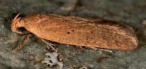 Agonopterix ligusticella