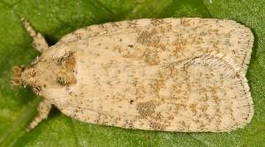 Agonopterix nanatella