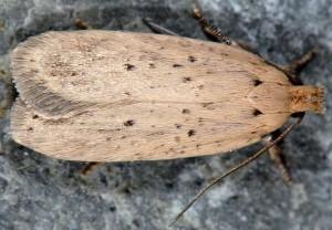 Agonopterix nodiflorella 34 1