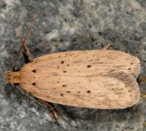 Agonopterix nodiflorella 34 2
